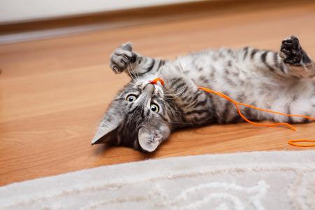 kuril: Kuril Bobtail cat Grey plays. Stock Photo