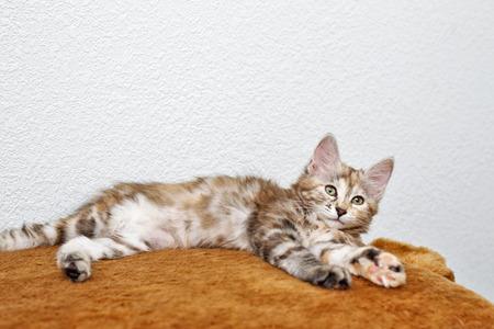 kurilian bobtail: Kuril Bobtail kitten resting