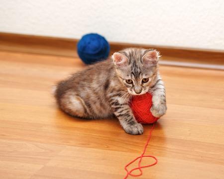 kuril: Kuril Bobtail kitten Gray caught a ball of yarn. Stock Photo