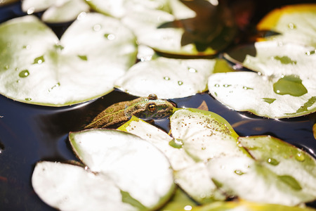 The frog hides in the pond among the water lilies. Close-up. wild nature Stock Photo