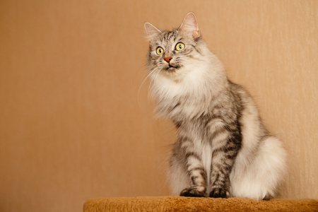 Cute fluffy cat. Pets. Hypoallergenic breed of cats