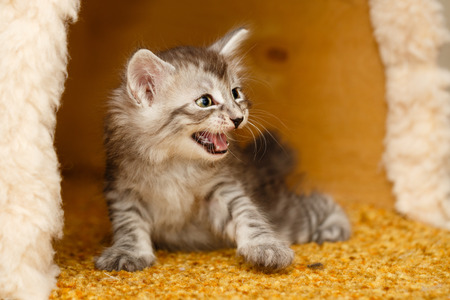 The cute little kitten is angry and hissing. Pets. Hypoallergenic breed of cats