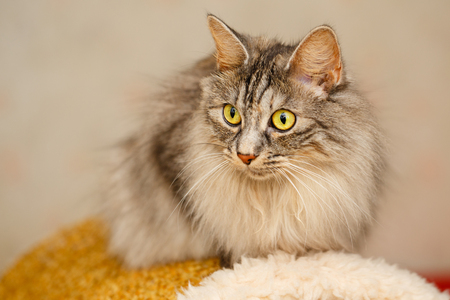 selectively: Sweet fluffy cat with yellow eyes. Pets. Hypoallergenic breed of cats. Japanese Bobtail Stock Photo