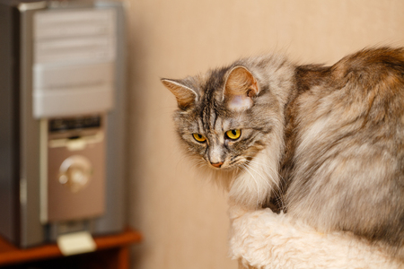 selectively: Cute fluffy cat standing next to a feline house. Pets. Hypoallergenic breed of cats