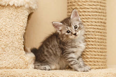 gray cat: Lovely little kitty stands next to the cats house. He looks at the camera. Pets. Hypoallergenic breed of cats