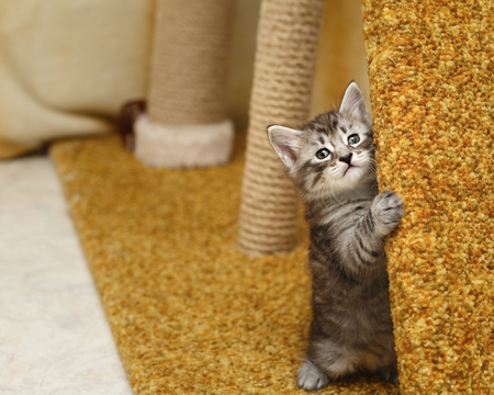 selectively: A cute little kitten is hiding. Pets. Hypoallergenic breed of cats