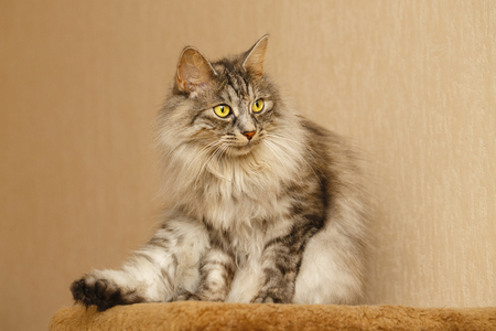 selectively: Sweet fluffy cat licking itself. Pets. Hypoallergenic breed of cats