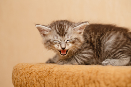 selectively: The cute little kitten is angry and hissing. Pets. Hypoallergenic breed of cats
