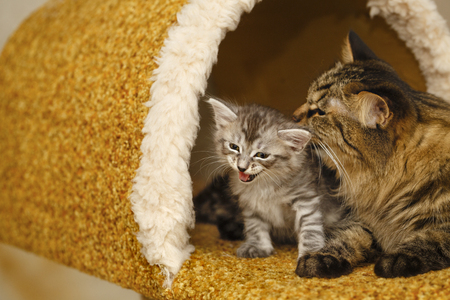 selectively: Mother cat lick a small cute kitten. Pets. Hypoallergenic breed of cats