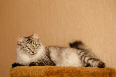 selectively: Sweet fluffy cat lies. Pets. Hypoallergenic breed of cats Stock Photo