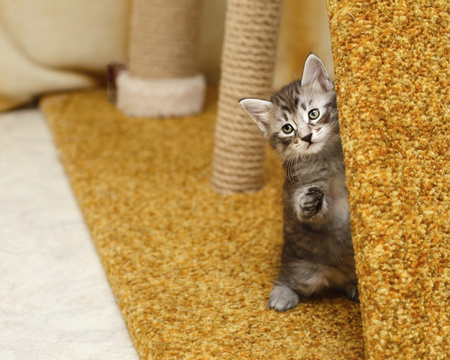 Cute little kitten hiding. Pets. Hypoallergenic breed of cats