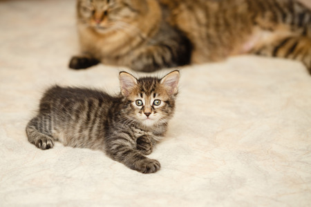 The kitten and mother cat lie on a soft blanket. Pets. Hypoallergenic breed of cats