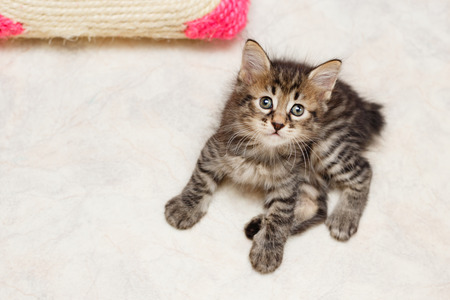Cute fluffy tabby kitten lying on a soft rug. Pets. Hypoallergenic breed of cats