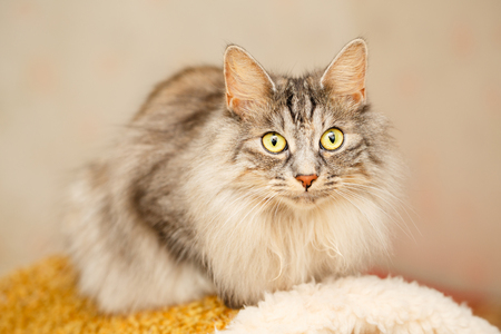 Sweet fluffy cat with yellow eyes. Pets. Hypoallergenic breed of cats. Japanese Bobtail Stock Photo