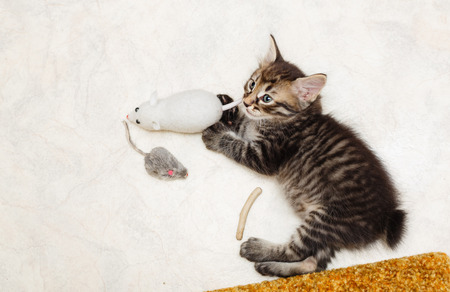 Lovely fluffy kitten and his toys. Pets. Hypoallergenic breed of cats