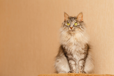 Sweet fluffy cat with yellow eyes. Pets. Hypoallergenic breed of cats Stock Photo