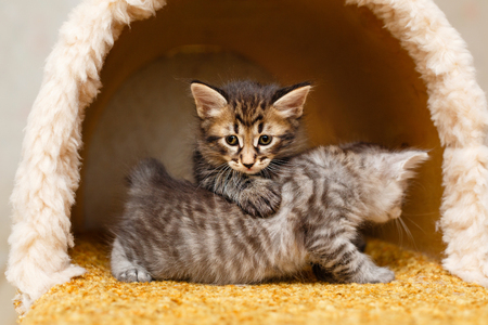 Two sweet fluffy kitten playing in the cat house. Pets. Hypoallergenic breed of cats