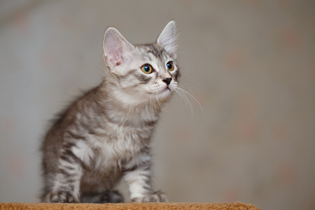 Lovely little kitten, Bobtail. Pets. Hypoallergenic breed of cats.