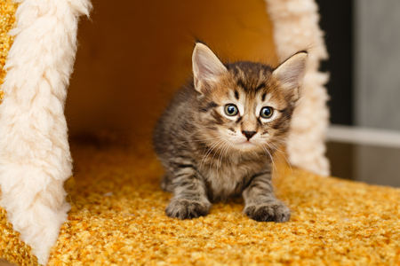 Lovely fluffy striped kitten. Pets. Hypoallergenic breed of cats