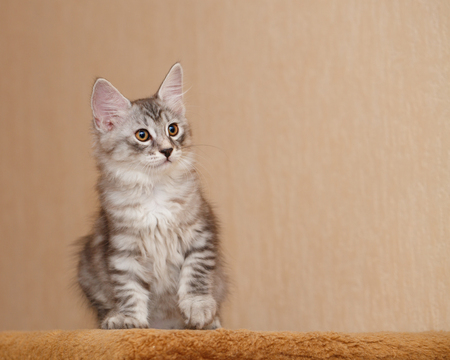 selectively: Cute little kitty Bobtail. Pets. Hypoallergenic cat breed. Tabby cat