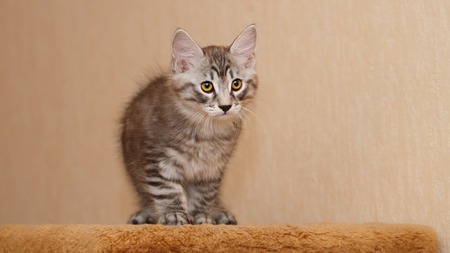 selectively: Cute little kitty Bobtail. Pets. Hypoallergenic cat breed. Looks