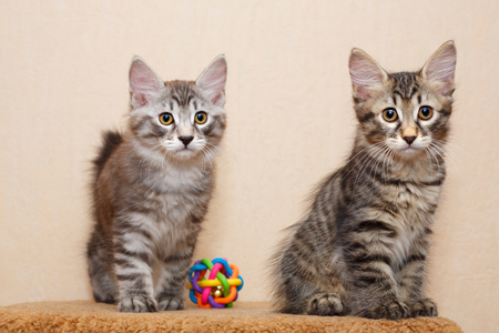 selectively: Two cute little kitty bobtail and toy. Pets. Hypoallergenic cat breed. Portrait of a tabby cat. Stock Photo