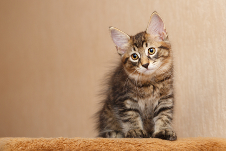 Cute little kitten sitting Bobtail. Pets. Hypoallergenic cat breed. Portrait of a tabby cat.