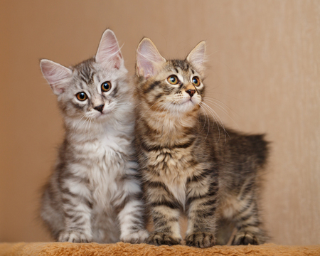 selectively: Two cute little kitty Bobtail sitting next to each other. Pets. Hypoallergenic cat breed. Striped cat