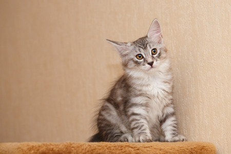 Cute little kitty Bobtail. Pets. Hypoallergenic cat breed. Portrait of a tabby cat. Tricky glance