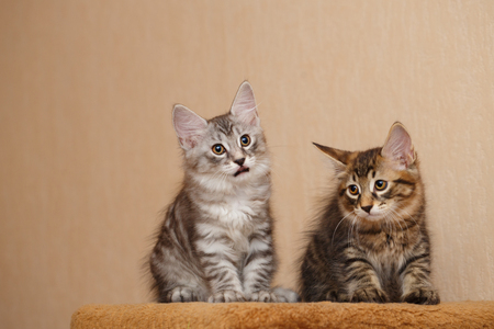 selectively: Two cute little kitty bobtail. Pets. Hypoallergenic cat breed. Portrait of a tabby cat.