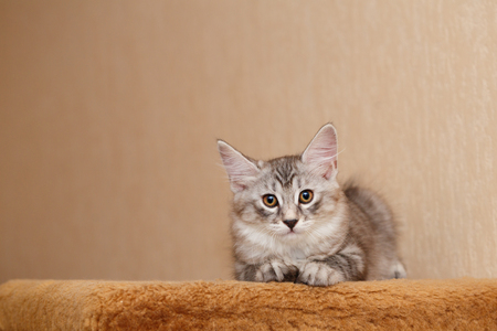 selectively: A cute little kitten, the Bobtail looks into the camera. Pets. Hypoallergenic breed of cats. Portrait of a tabby cat. Stock Photo