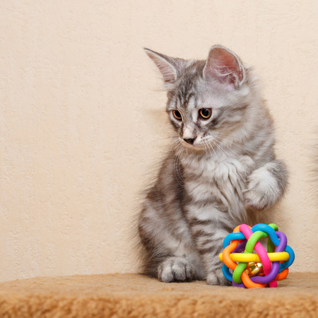 A cute little kitten is a Bobtail and a toy. Pets. Hypoallergenic cat breed. Portrait of a tabby cat.