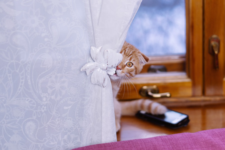 A cute little red kitten hides behind a curtain on the windowsill.