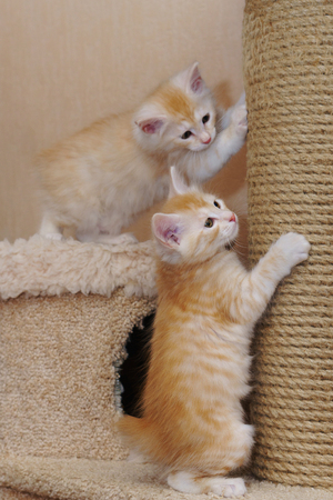 Two cute red kitten are sharpening their claws. Long-haired breed of cats. Home life of pets