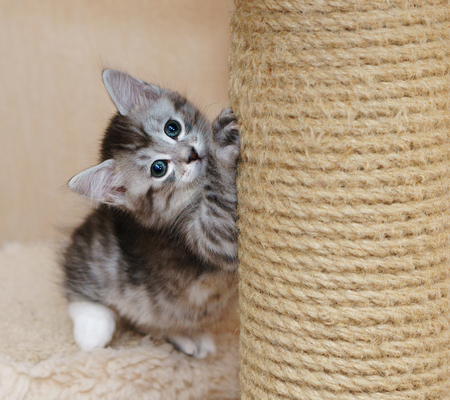 A cute gray kitten sharpens his claws. Long-haired breed of cats. Home life of pets