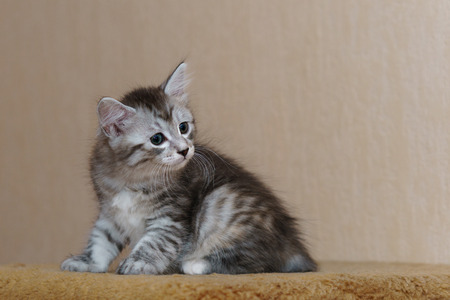 Nice gray kitten. Long-haired breed of cats. Home life of pets Stock Photo