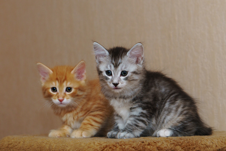 Two cute kittens are sitting together. Red and gray. Long-haired breed of cats. Home life of pets