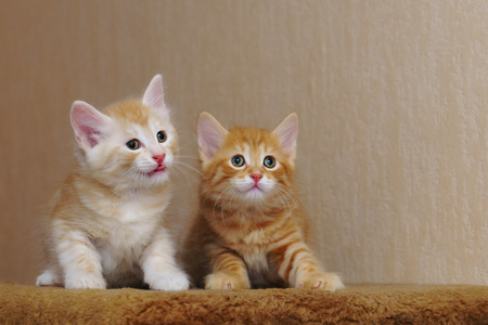 Two cute red kittens are sitting together. Long-haired breed of cats. Home life of pets