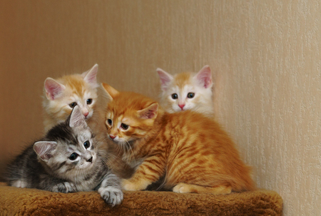 Four cute kittens sit together. Three red and gray. Long-haired breed of cats. Home life of pets Stock Photo - 98590790