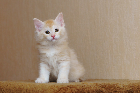 Cute red kitten sitting in the house. Long-haired breed of cats. Home life of pets Stock Photo - 98592326