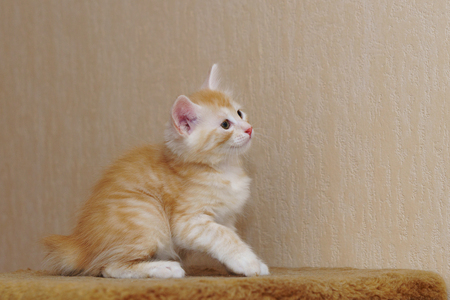 Cute red kitten sitting in the house. Long-haired breed of cats. Home life of pets Stockfoto