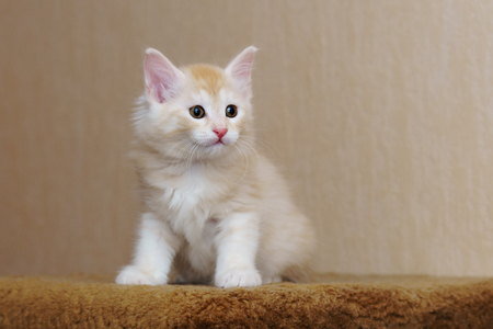 Cute red kitten sitting in the house. Long-haired breed of cats. Home life of pets Stock Photo