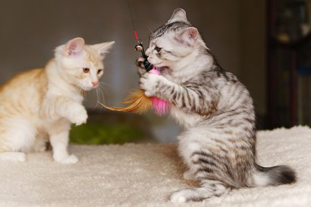 Two cute kitten gray and red are playing with a toy. Breed Kurilian Bobtail. Hypoallergenic breed of cats Stock Photo