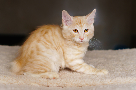 Lovely thoroughbred redhead kitten. Breed Kurilian Bobtail. Hypoallergenic breed of cats