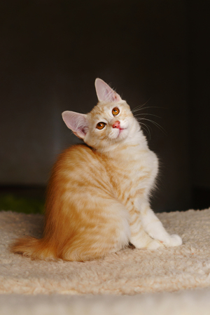 Lovely red thoroughbred kitten. Breed Kurilian Bobtail. Hypoallergenic breed of cats