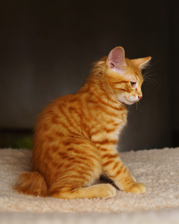 Lovely red thoroughbred kitten. Breed Kurilian Bobtail. Hypoallergenic breed of cats