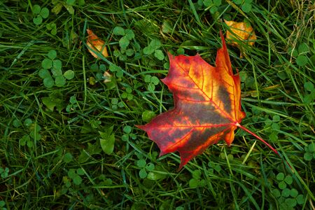 Large fallen red maple leaf on green grass in the park. Colorful foliage in the park. Falling leaves natural background. Autumn season concept