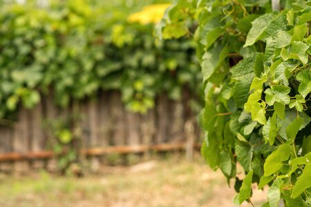 Vineyard and vines in early summer.  Branch of vine leaves in vineyard. Space for text