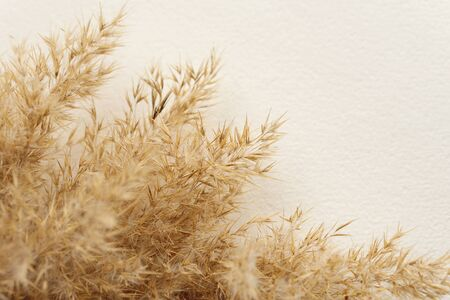 Dried natural pampas grass on white surface. Flat lay. Background boho. Minimalism. Low depth of field.. Фото со стока