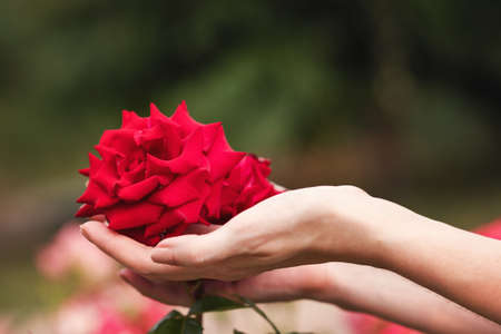 Red bush rose in the hands of a girl on the background of a flowering garden. Blooming roses bushes. Farmer. Argiculture field